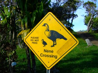 「ネーネー」という鳴き声からその名がついたと言われるハワイ固有の鳥。ガチョウの一種で、ハワイ州の鳥に認定されています。かつてはハワイ、マウイ、カウアイ、  ...